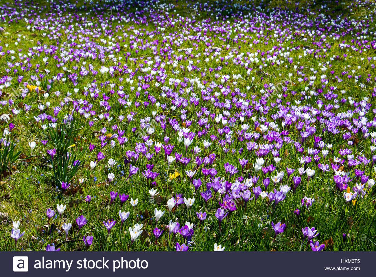 Crocus Wiese Im Frühling Naturalistischen Garten Lila Und Weißen