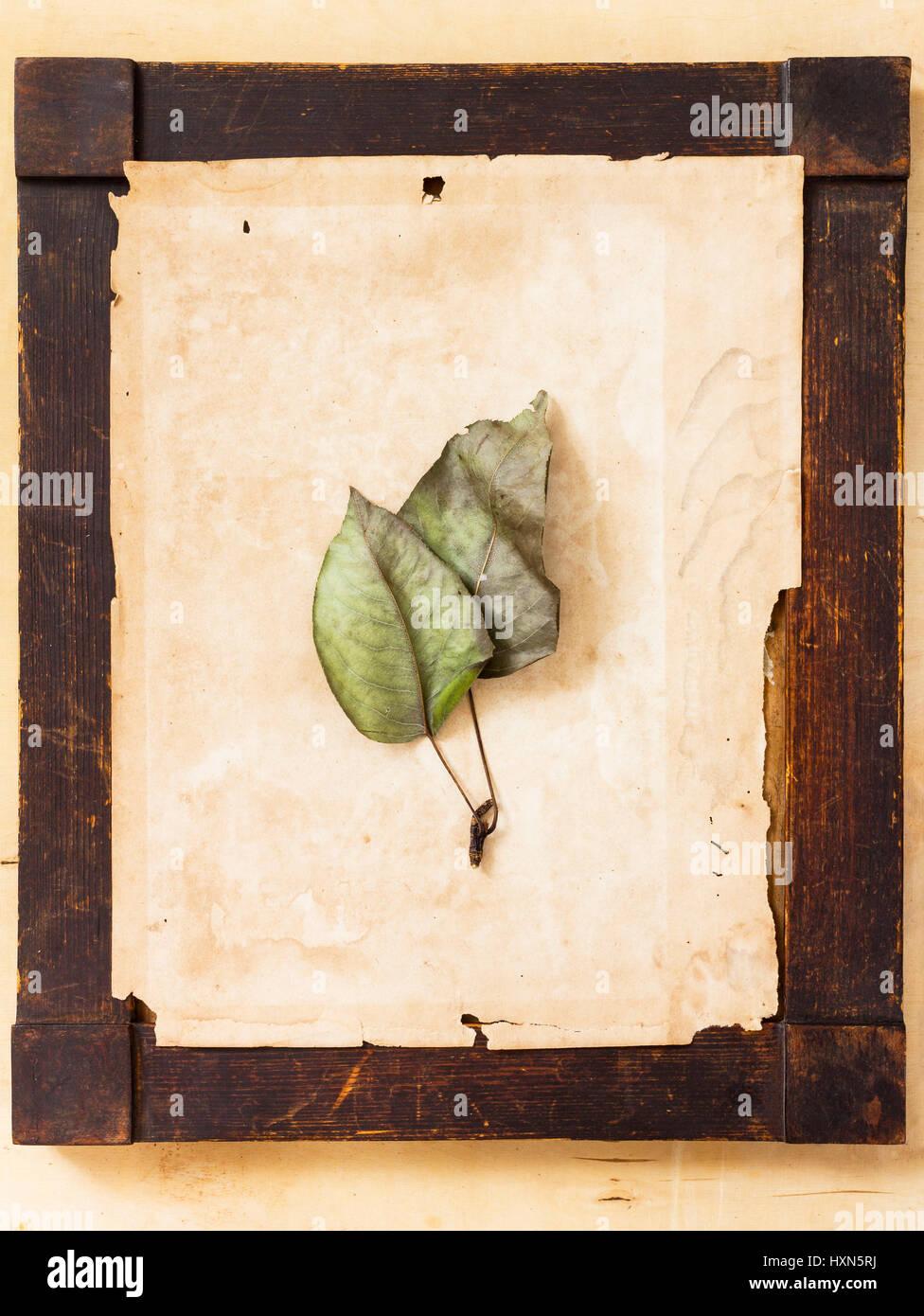 Zwei Welke Blätter auf vergilbtem Papierhintergrund angeordnet in ...