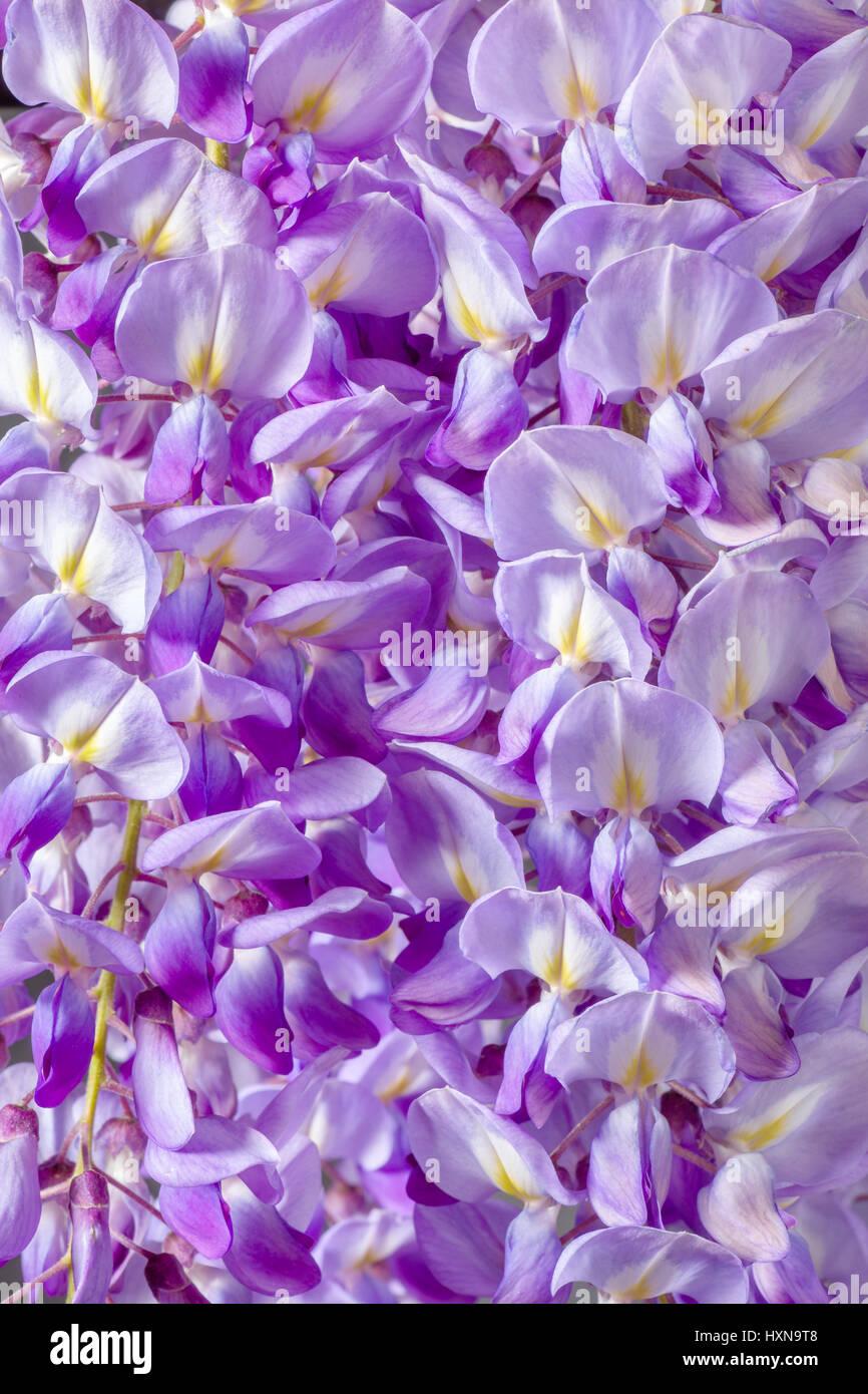 Nahaufnahme von Violet Wisteria Blumen Stockfoto