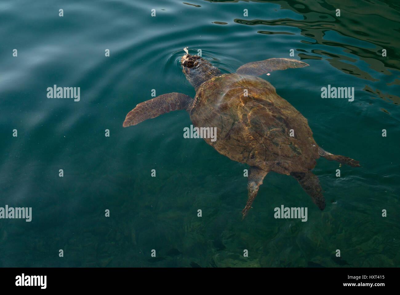 Große Schildkröte Schwimmt ein Dunkelgrüner Wasseroberfläche, Insel Kastellorizo, Dodekanes, Stockbild
