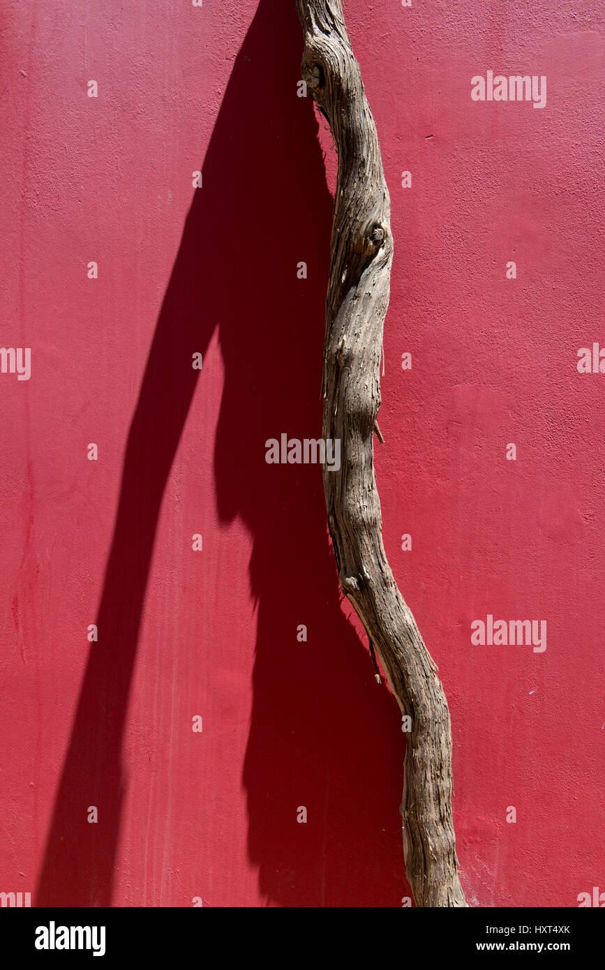Stamm Einer Bougainvillea Windet Sich ein Einer Dunkelroten Hauswand Empor Mit Geschäftsführung Schatten Stockbild