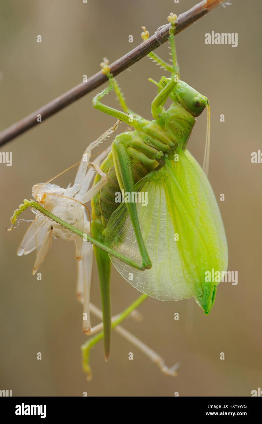 Große grüne Bush Cricket (Tettigonia Viridissima) entstehende nymphal Haut, Faia Brava und Coa Tal archäologischer Stockbild