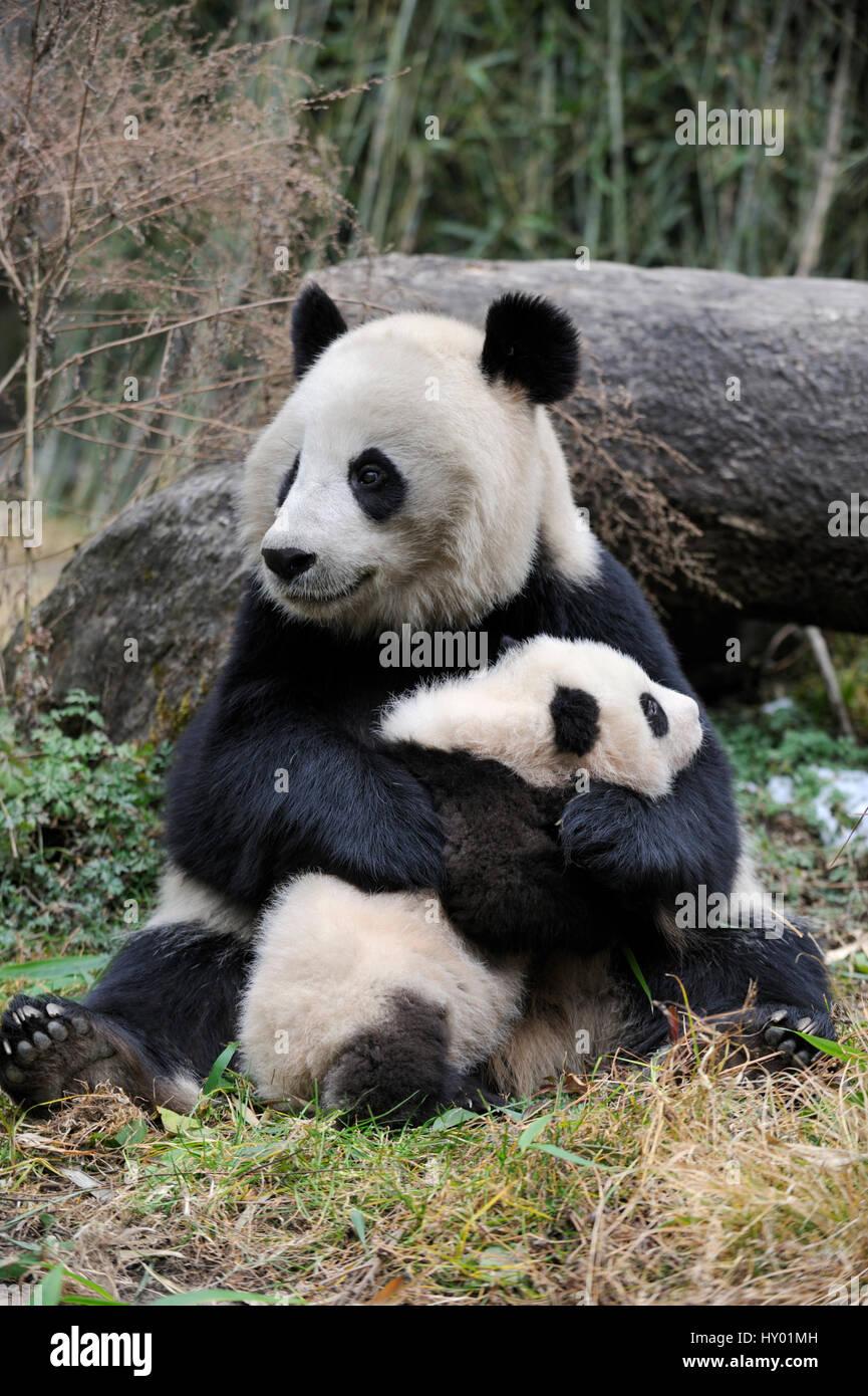 Großer Panda (Ailuropoda Melanoleuca) Mutter und Jungtier. Wolong Nature Reserve, Wenchuan, Provinz Sichuan, Stockbild