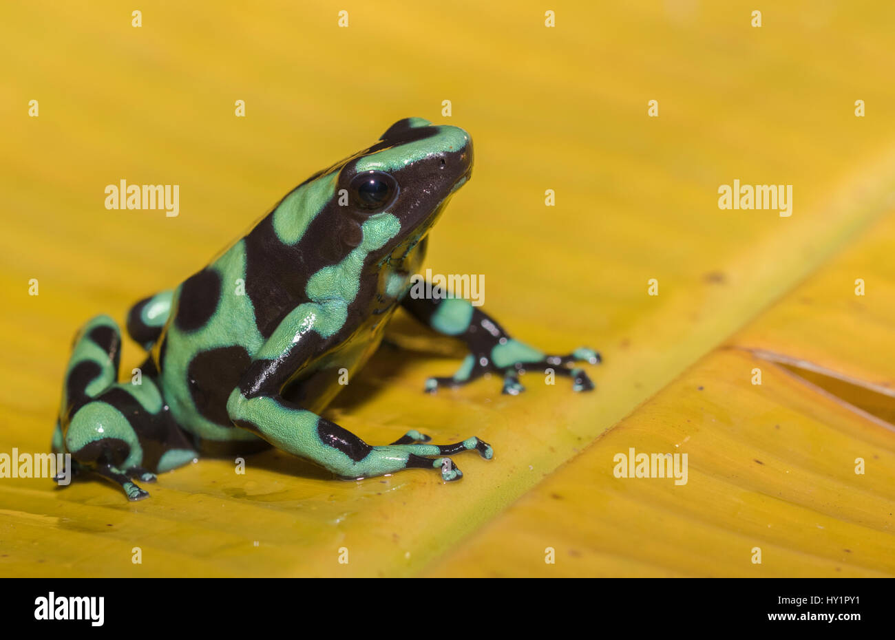 Gr n und schwarz pfeilgiftfrosch dendrobates auratus oder gr n schwarzes vergiften pfeil frosch - Frosch auf englisch ...