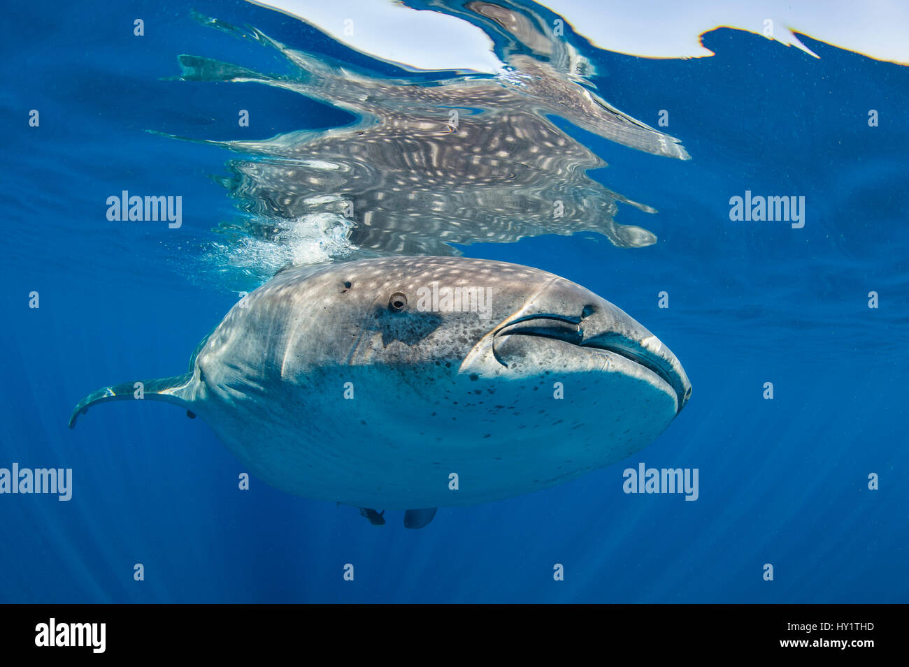 Walhai (Rhincodon Typus) an der Oberfläche, Isla Mujeres, Quintana Roo, Halbinsel Yucatan, Mexiko, Karibik. Stockbild