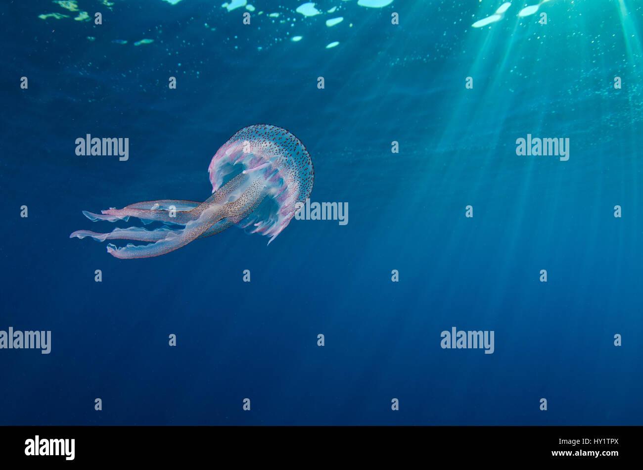 Eine kleine Quallen (Pelagia noctiluca) schwimmt unter der Oberfläche. Meeresschutzgebiet von Portofino (Area Marina Protetta Portofino), Ligurien, Italien. Mittelmeer. Stockfoto