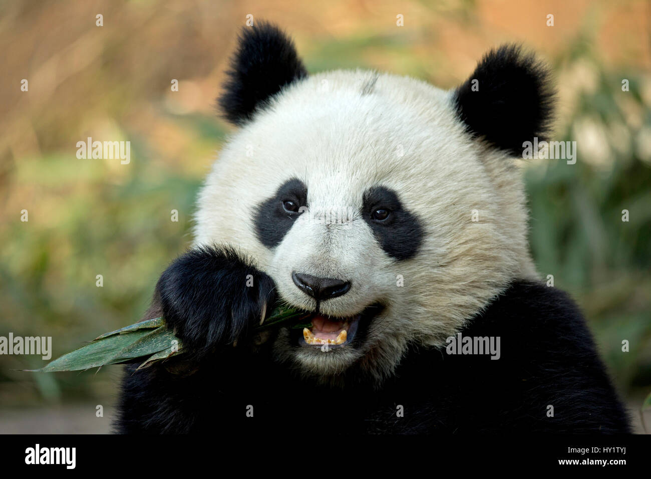 Großer Panda (Ailuropoda Melanoleuca) sub-adult füttern. Bifengxia, China. In Gefangenschaft. Stockfoto