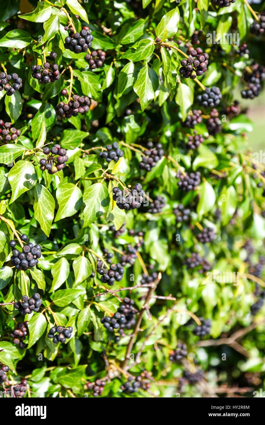 Beeren von Hedera Helix (gemeinsame Ivy, Englisch Efeu) England UK Stockfoto