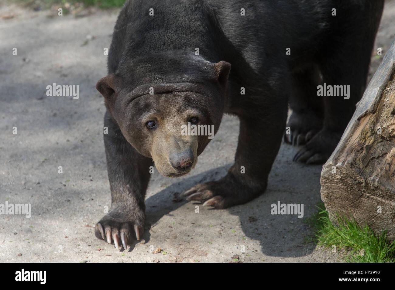Sun bear, Helarctos Malayanus, Ursidae, Madrider Zoo Stockfoto