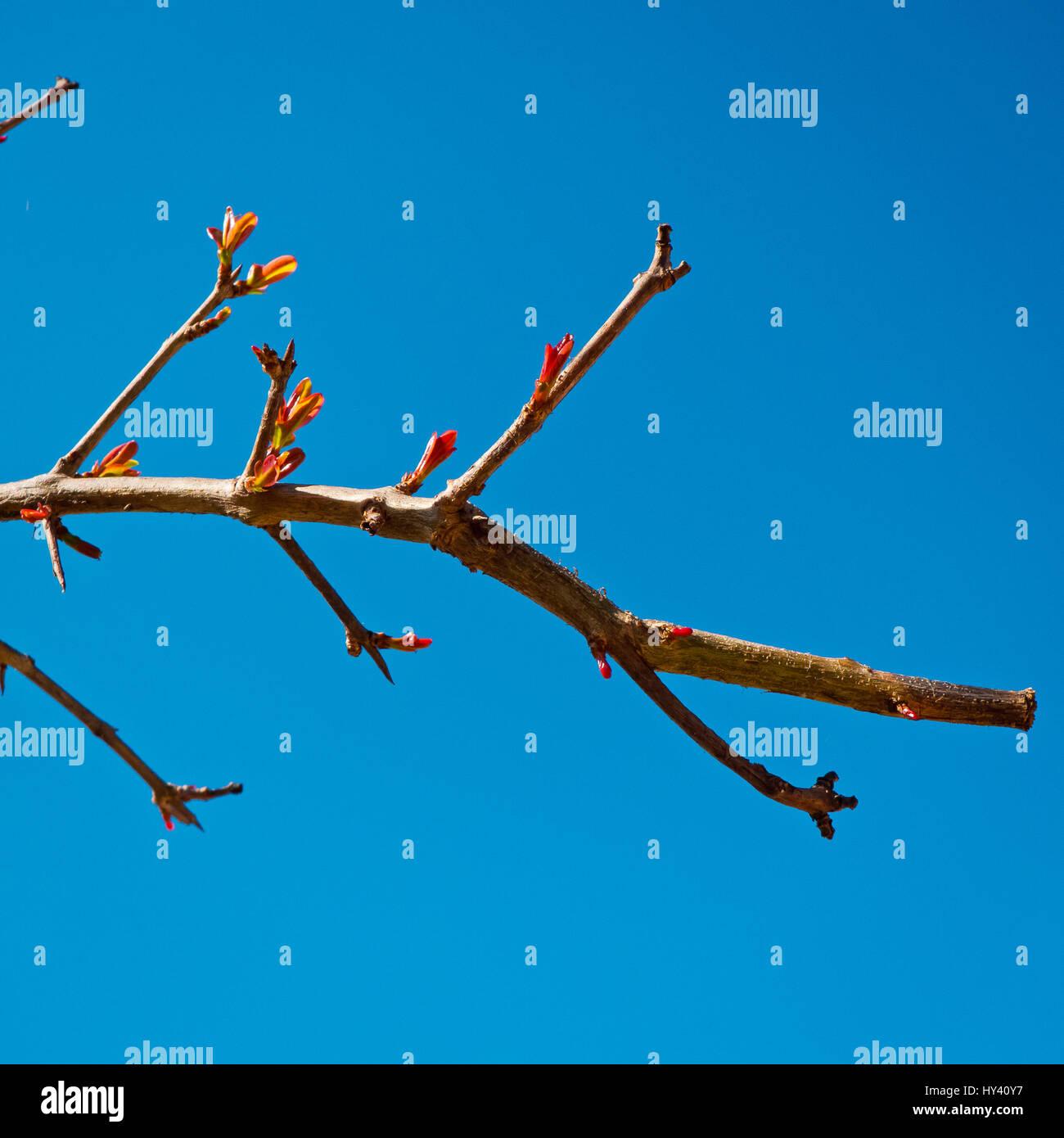 Granatapfel Zweig in der Blüte. Stockbild