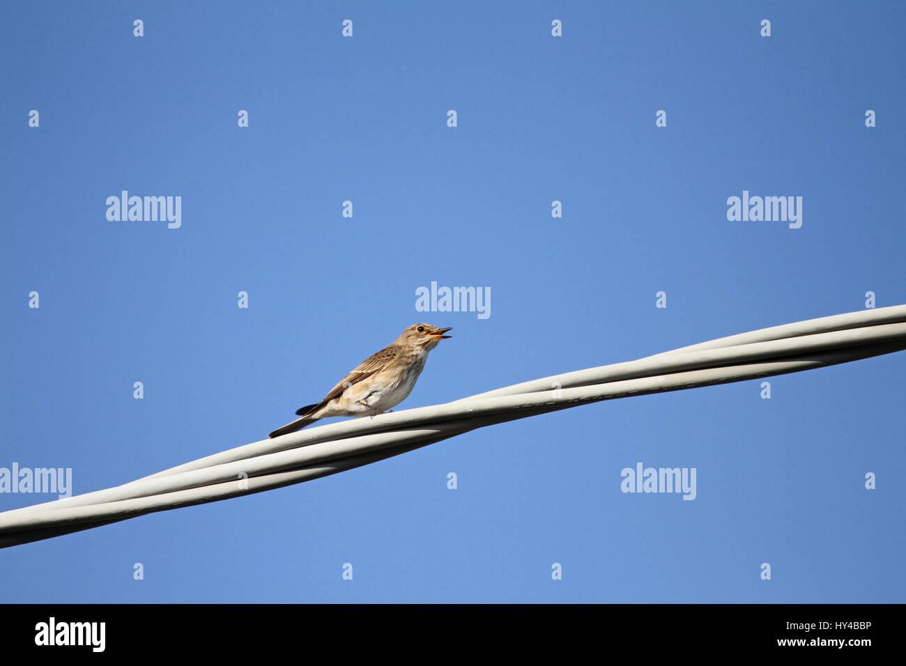 Grauschnäpper weiblich schließen lateinischen Namen Muscicapa ...