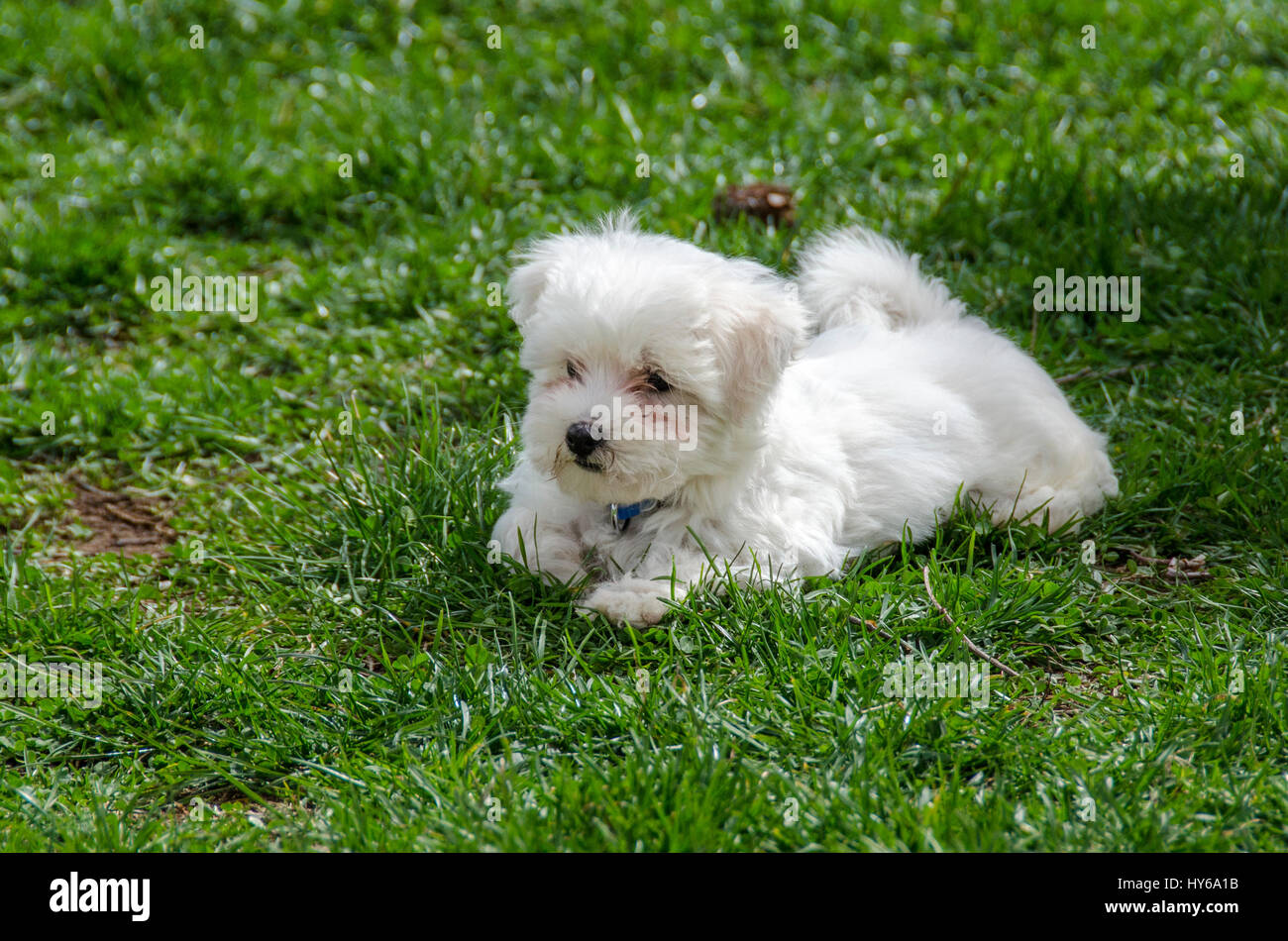Pictures Maltipoo Dogs