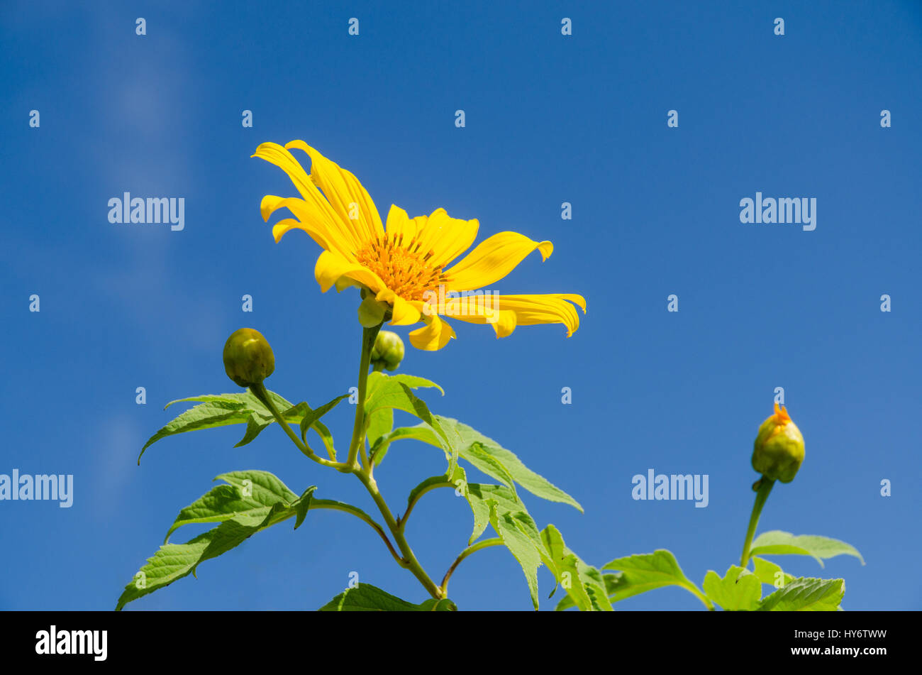 mexican flora stockfotos mexican flora bilder seite 2. Black Bedroom Furniture Sets. Home Design Ideas
