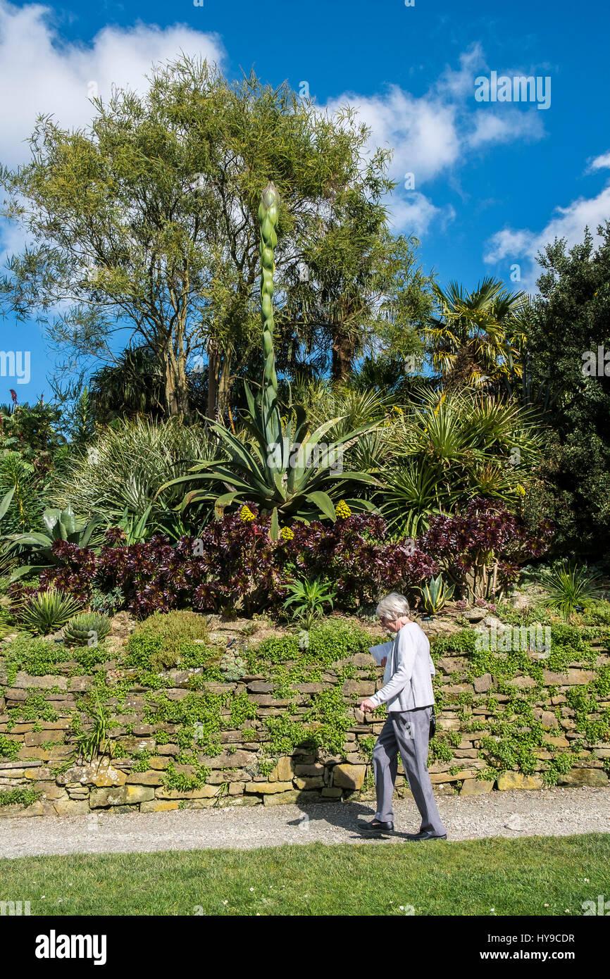 Trebah Gärten subtropische Aloe Vera Pflanze blühen spektakulär Tourismus Tourist Besucher Attraktion Stockbild