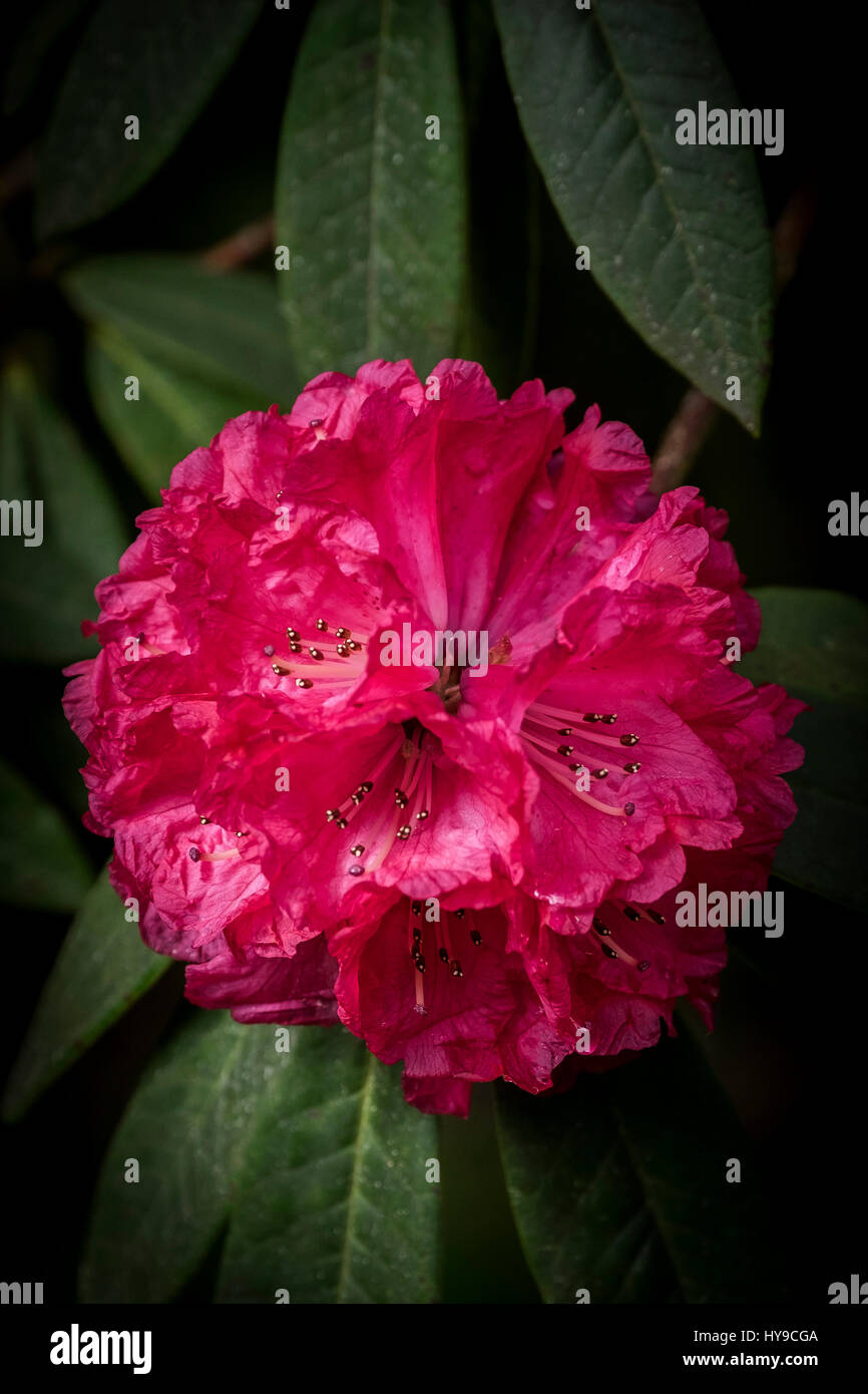 Trebah Garten Rhododendron Arboreum subtropischen Blume Blüte pulsierenden roten Blütenblätter Gartenarbeit Stockbild