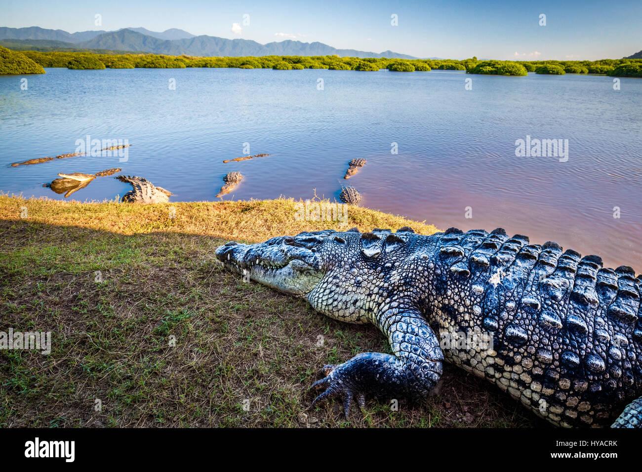Mehrere große Krokodile hängen in der Nähe von Mangroven von San Blas, Nayarit, Mexiko. Stockbild