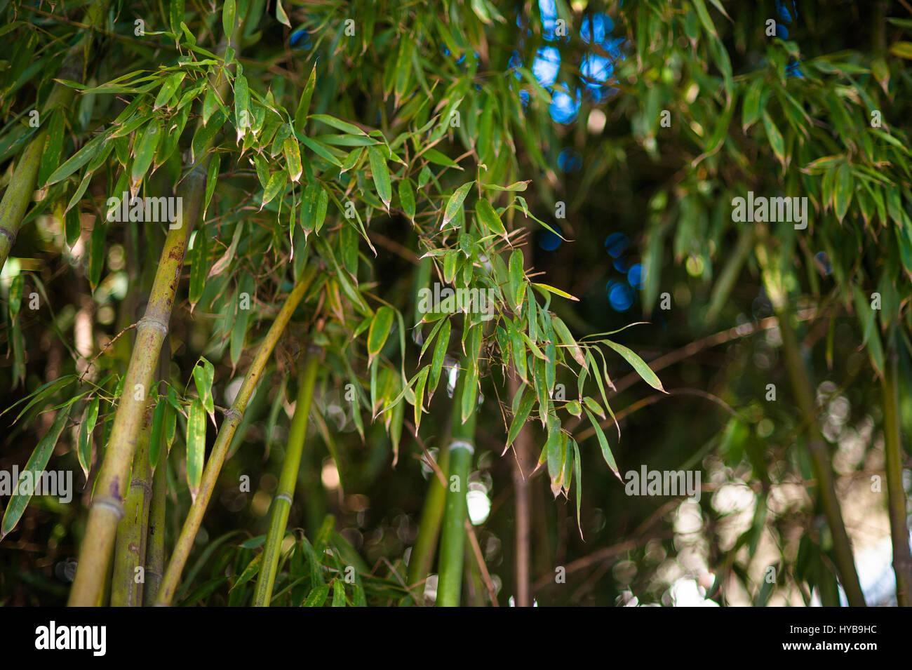 Bambus Wald Naturlichen Grunen Hintergrund Bei Tageslicht Helle