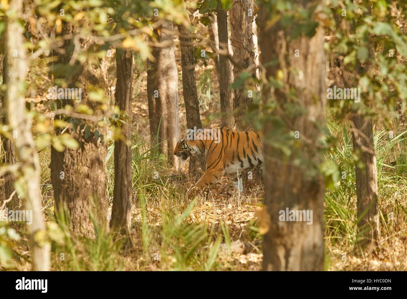 Tiger In Einem Schönen Natur Lebensraum Tadoba Nationalpark In