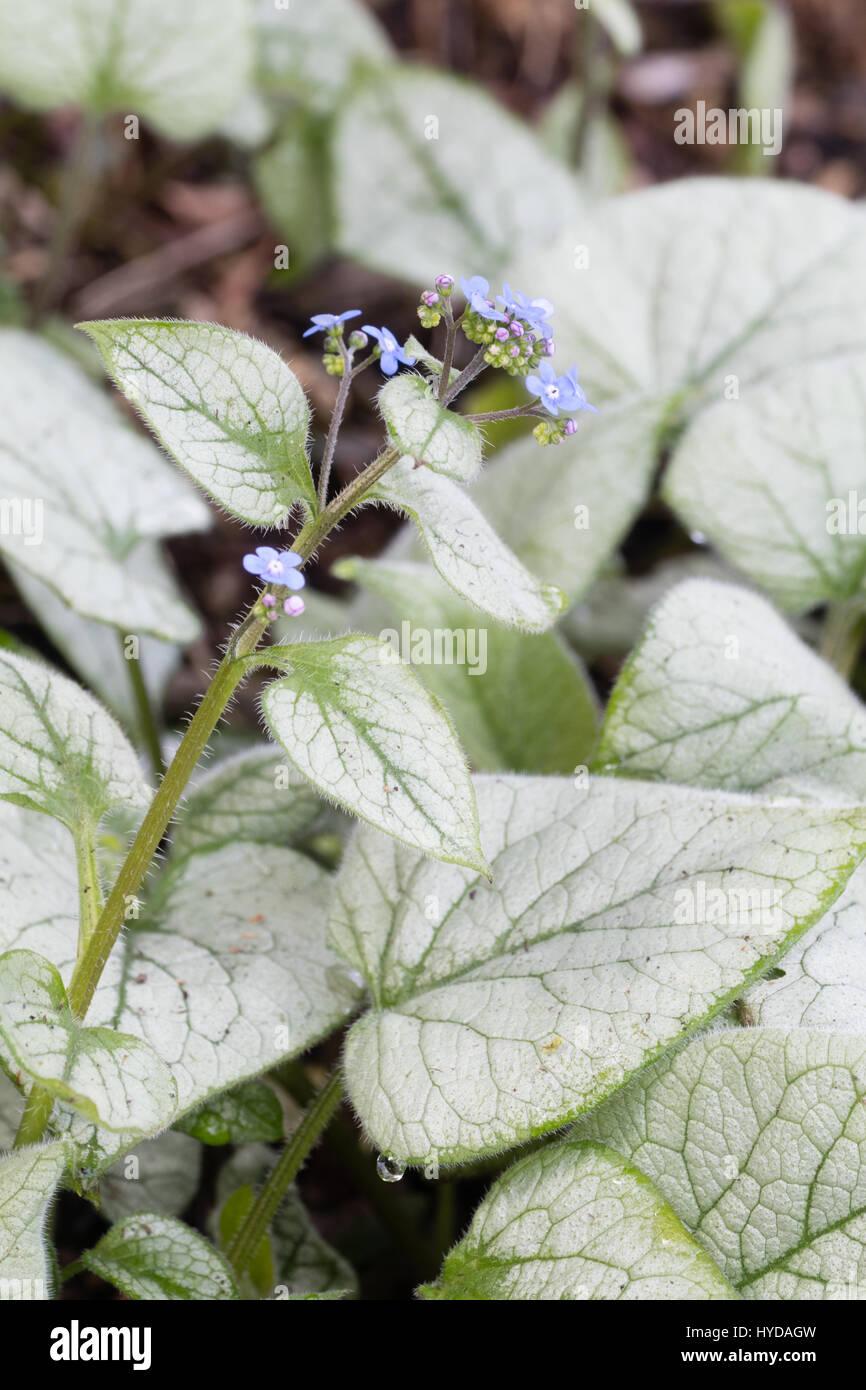 versilbert laub und blaue fr hlingsblumen von der winterharte mehrj hrige brunnera macrophylla. Black Bedroom Furniture Sets. Home Design Ideas