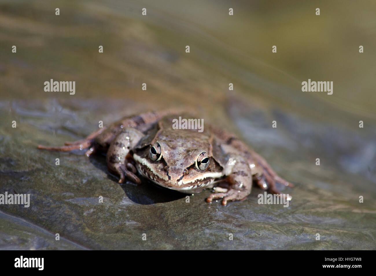 Holz-Frosch schließen vorne Blick auf Felsen in der Nähe von Teich im central New York, USA. Stockfoto