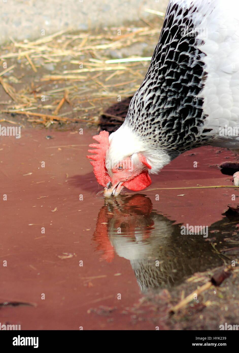 Leichte Sussex-Huhn Stockbild