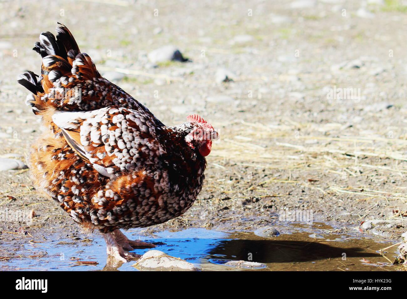 Gesprenkelte Sussex Henne auf dem Hof. Orana Wildlife Park, Christchurch, Neuseeland Stockbild