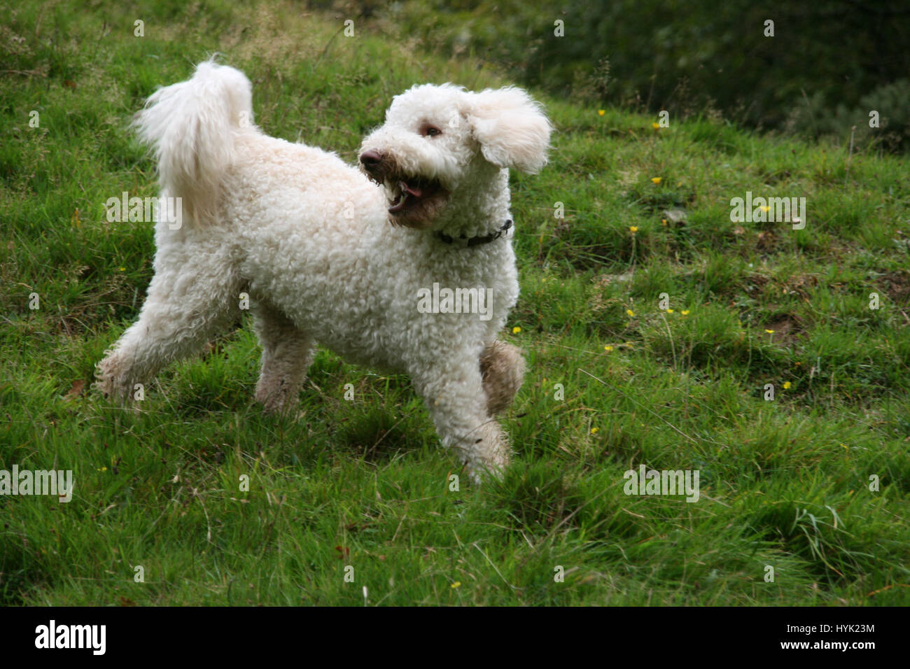 white labradoodle stockfotos white labradoodle bilder alamy. Black Bedroom Furniture Sets. Home Design Ideas