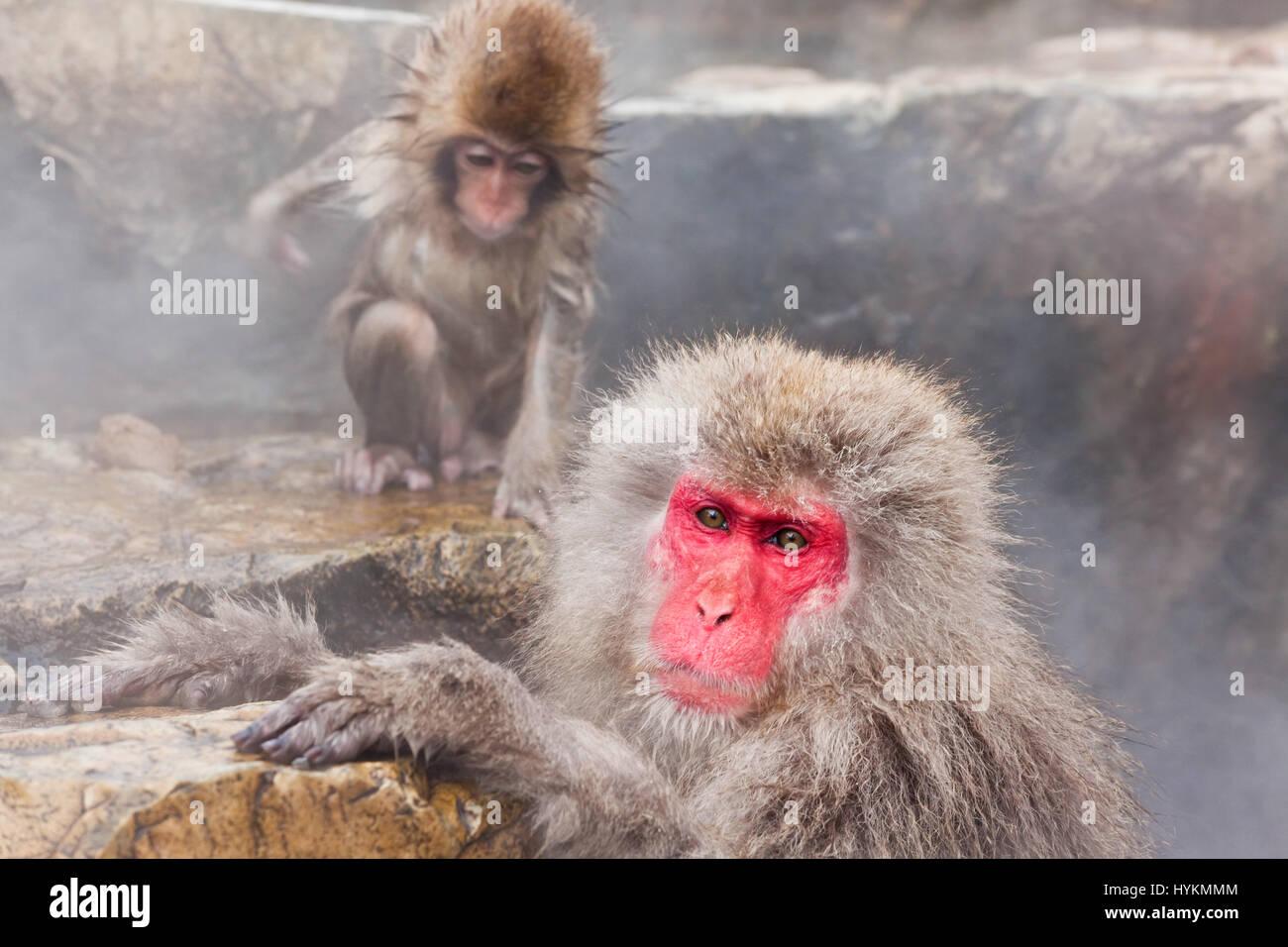 Nagano Japan Diese Gruppe Von 200 Affen Und Ihre Babys Gefangen