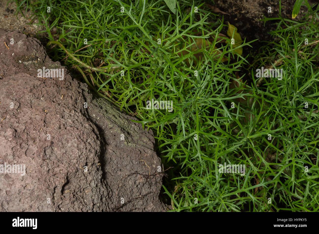 Argyranthemum Frutescens, Asteraceae, endemisch, Kanarische Inseln, SpanienStockfoto