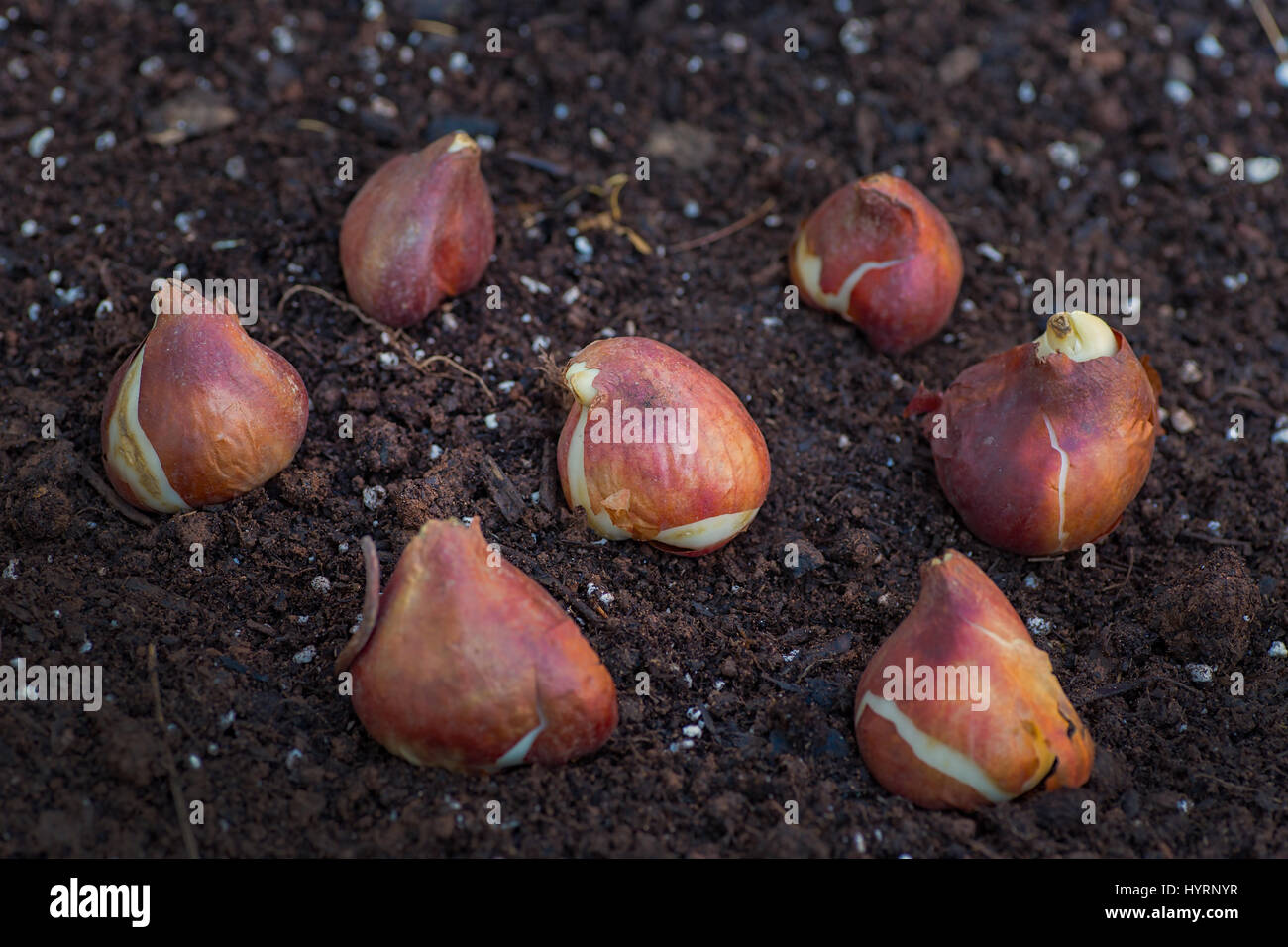 tulip bulb soil stockfotos tulip bulb soil bilder alamy. Black Bedroom Furniture Sets. Home Design Ideas