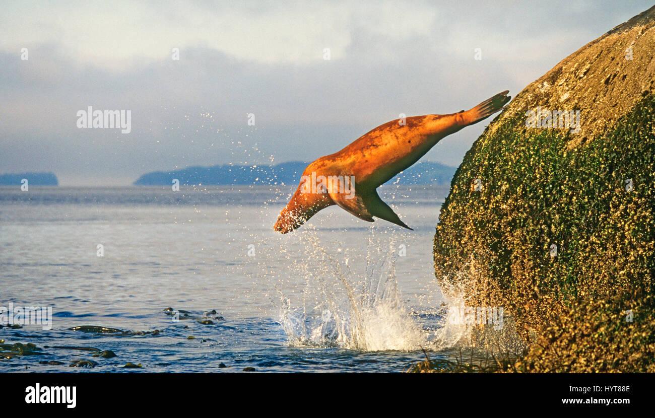 Ein Stellar Seelöwen, Eumetopias Jubatus weiblich, springt von einem Barnacle bedeckt Stein im Inneren Passage Stockbild