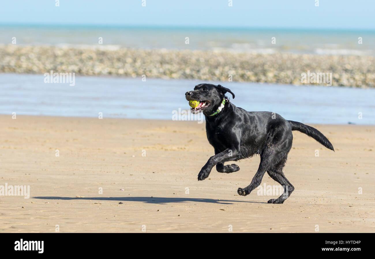 Großer schwarzer Hund läuft an einem Strand mit einem Ball im Maul. Stockbild