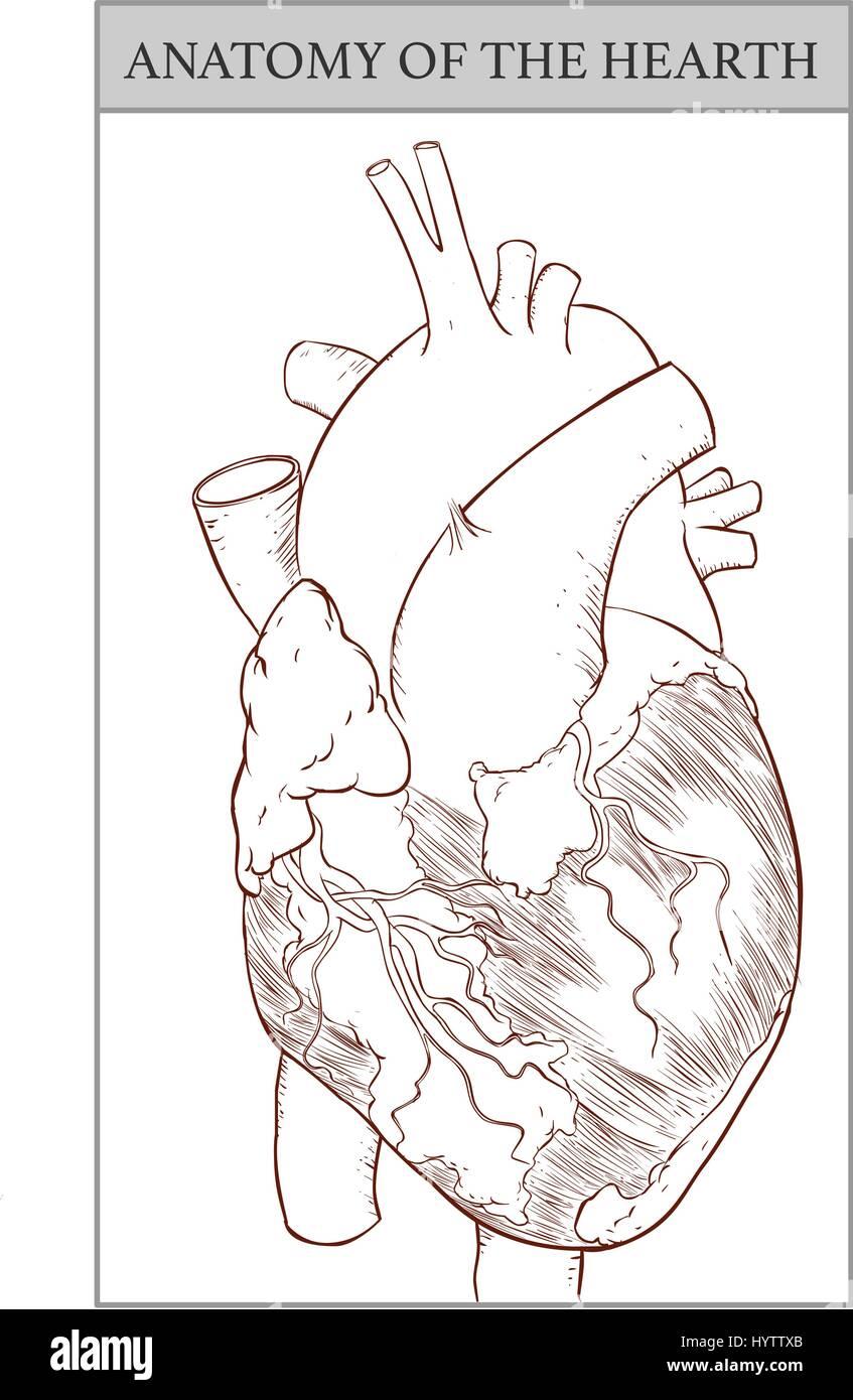 Vector Illustration eines menschlichen Herzen Anatomie Vektor ...