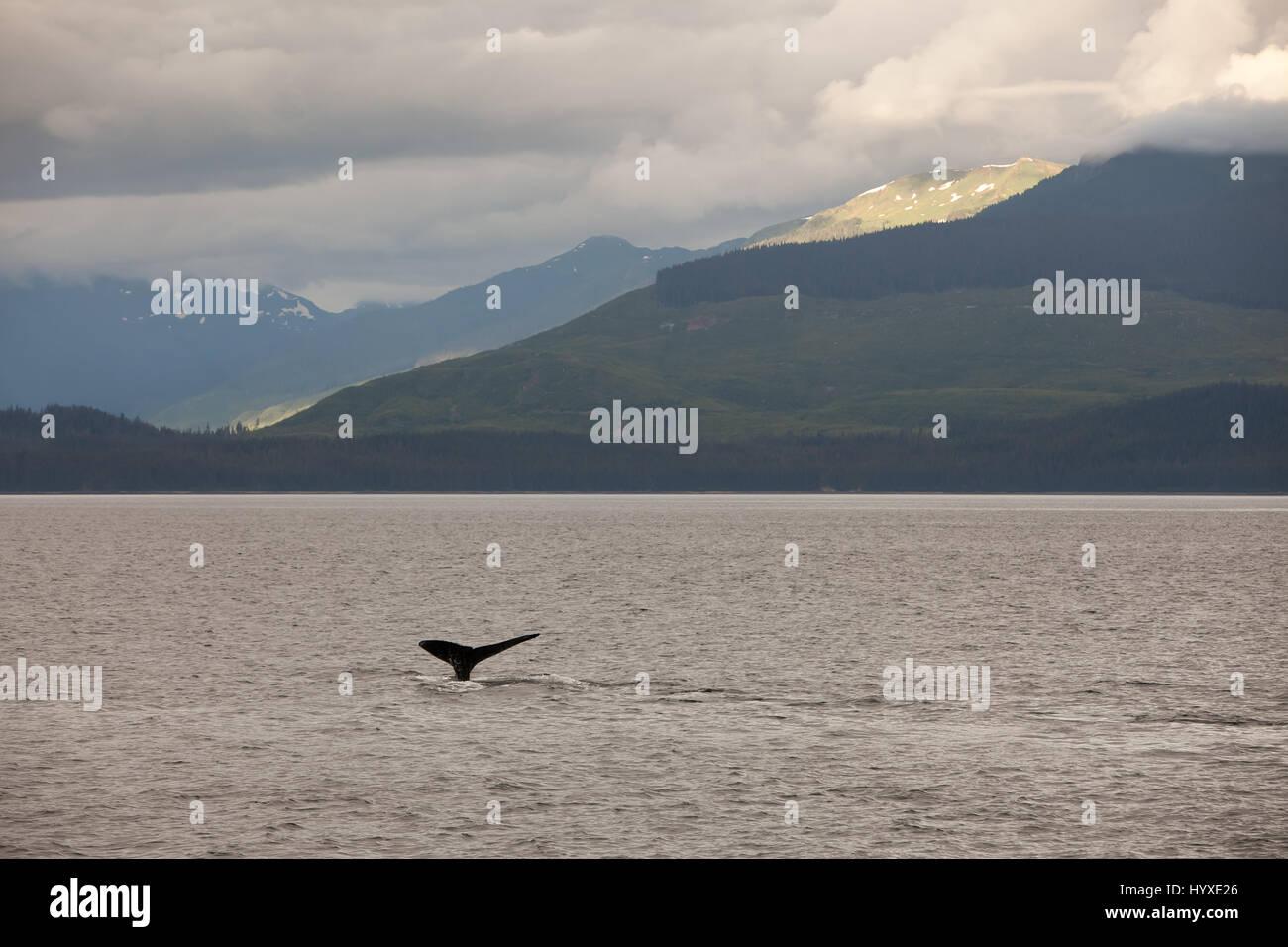 Zwischen Bergen und grünen Hügeln die Schwanzflosse eines Buckelwal verstößt gegen das Wasser. Stockbild