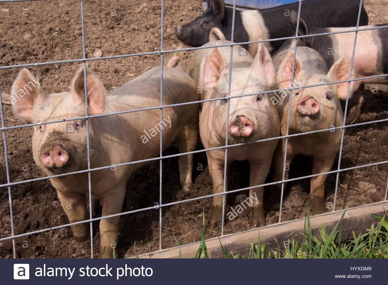 Atemberaubend Schwein Drahtzaun Panels Zeitgenössisch - Schaltplan ...