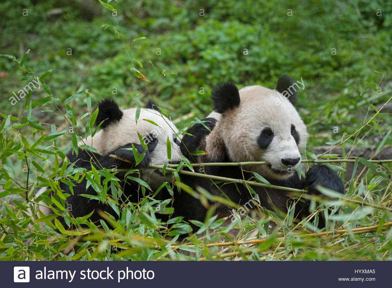 Ein Grosser Panda Mutter Und Cub Essen Bambus In Einem Gehause An Das