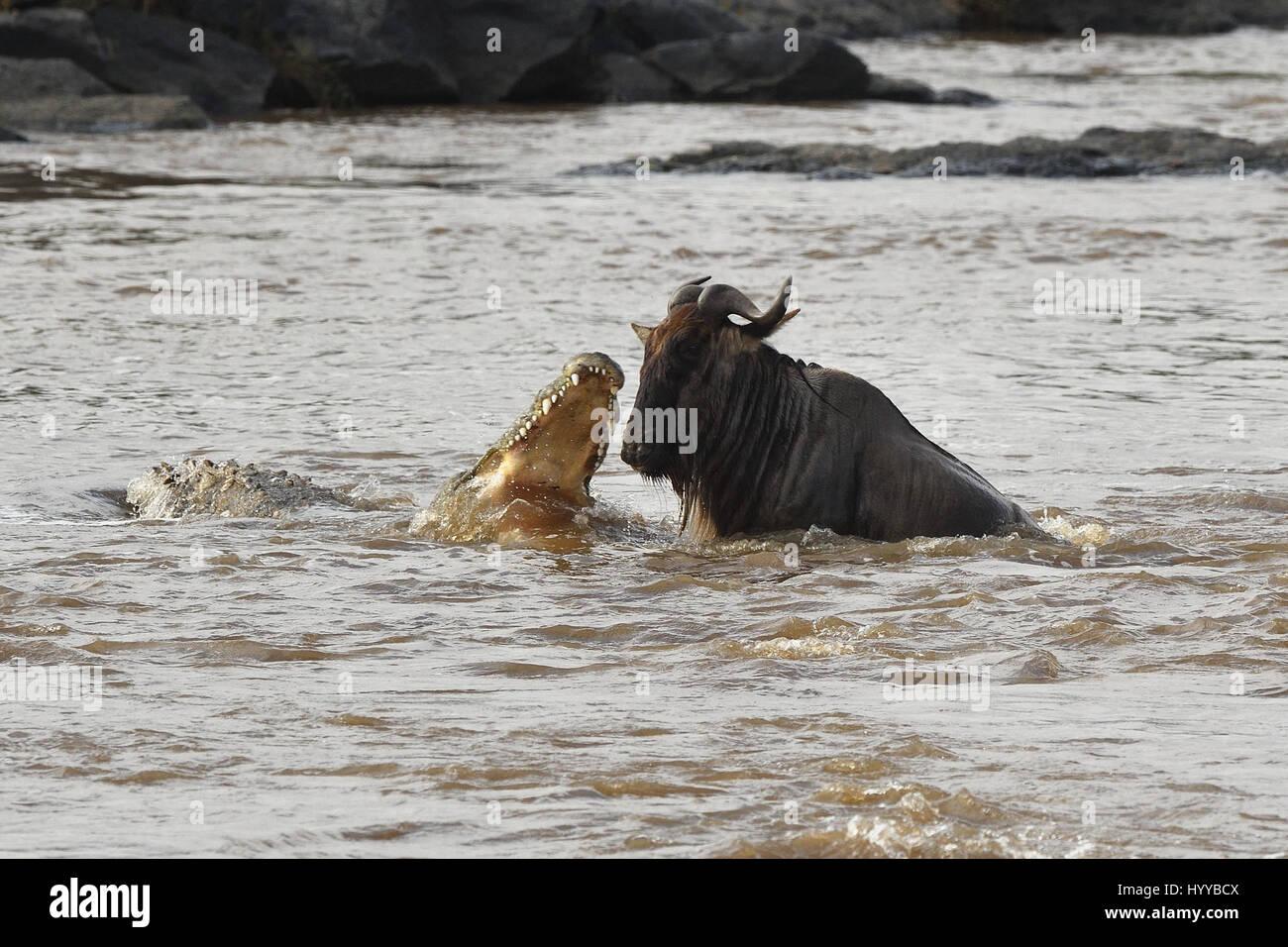 MASAI MARA, Kenia: Dramatische Bilder Moment ergaben eine hungrige 880-Pfund-Krokodil aus dem Wasser, einem unglücklichen Stockbild