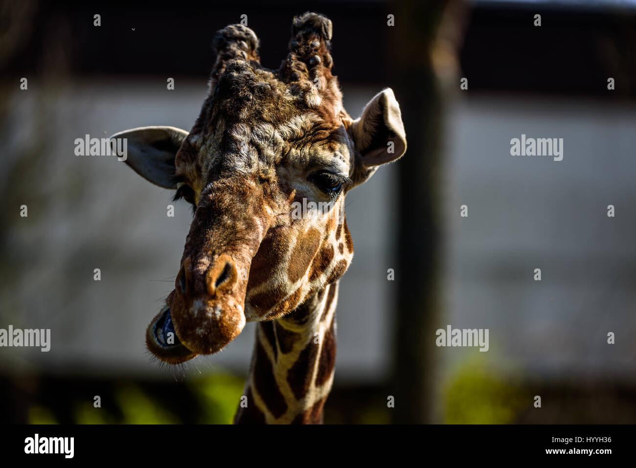 Funny Giraffe Cartoon Stockfotos & Funny Giraffe Cartoon Bilder ...