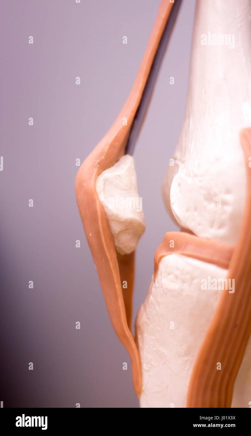 Knie- und Meniskus medizinische Studie Student Anatomie Modell zeigt ...