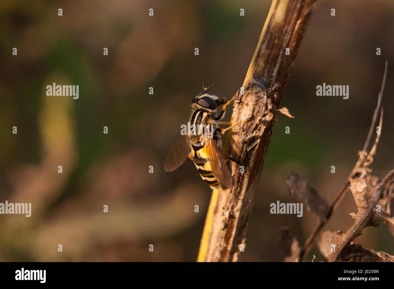 Schöne enge Schuss der Biene auf dem braunen Zweig. Bild wurde im Botanischen Garten in der Sonne abgerissen. Stockbild