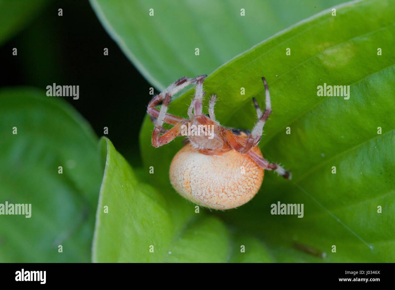 Große fette orange Spinne, ein anderes Insekt einen Hinterhalt warten Stockbild