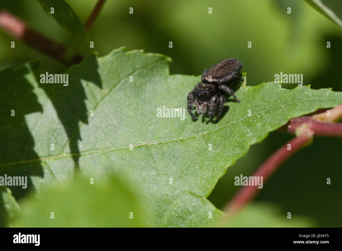 Schwarze Spinne, die darauf warten, ein anderes Insekt Hinterhalt Stockbild
