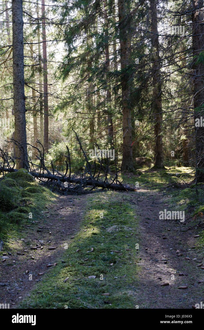Umgestürzter Baum blockiert eine Forststraße Stockbild