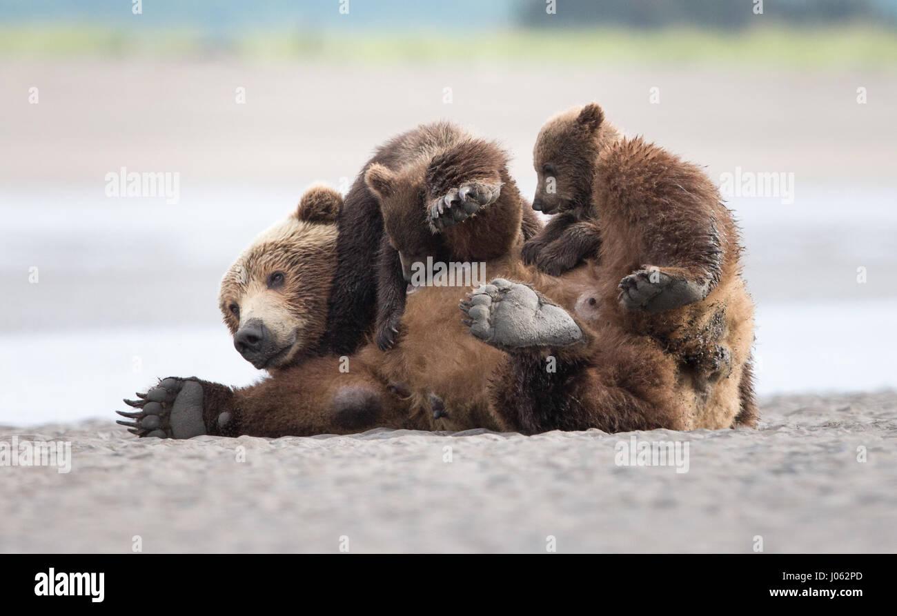 Alaska Usa Zwei Braunbären Wurden Gefangen Ein Herumtollen Am