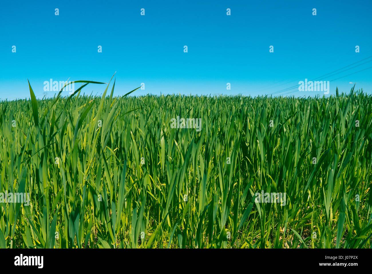 Getreidepflanzen in Süd Italien wachsen. Stockbild