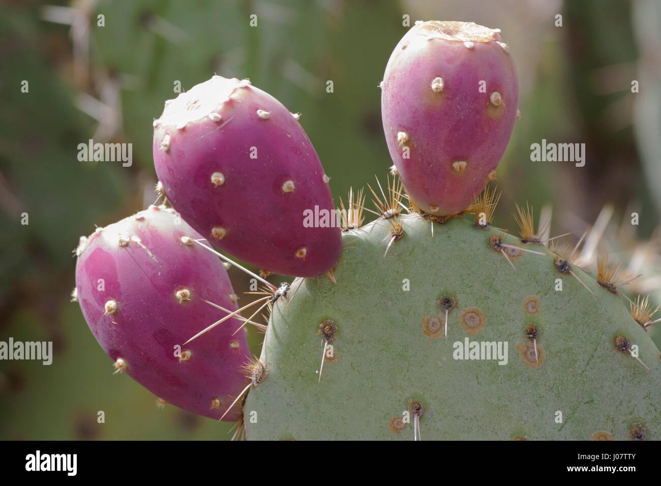 Prickly Pear Cactus Stockbild