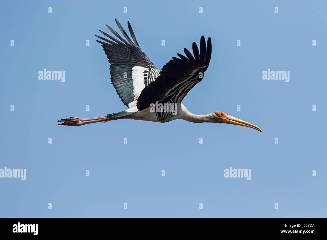 Malte Stork (Mycteria Leucocephala) im Flug, Prek Toal, Tonle Sap, Kambodscha Stockbild