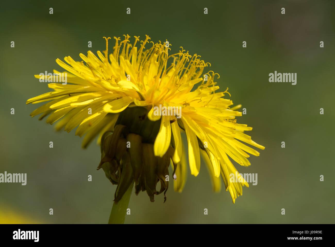 Löwenzahn (Taraxacum Officinale Agg.) Blume zeigt Staubgefäße ...
