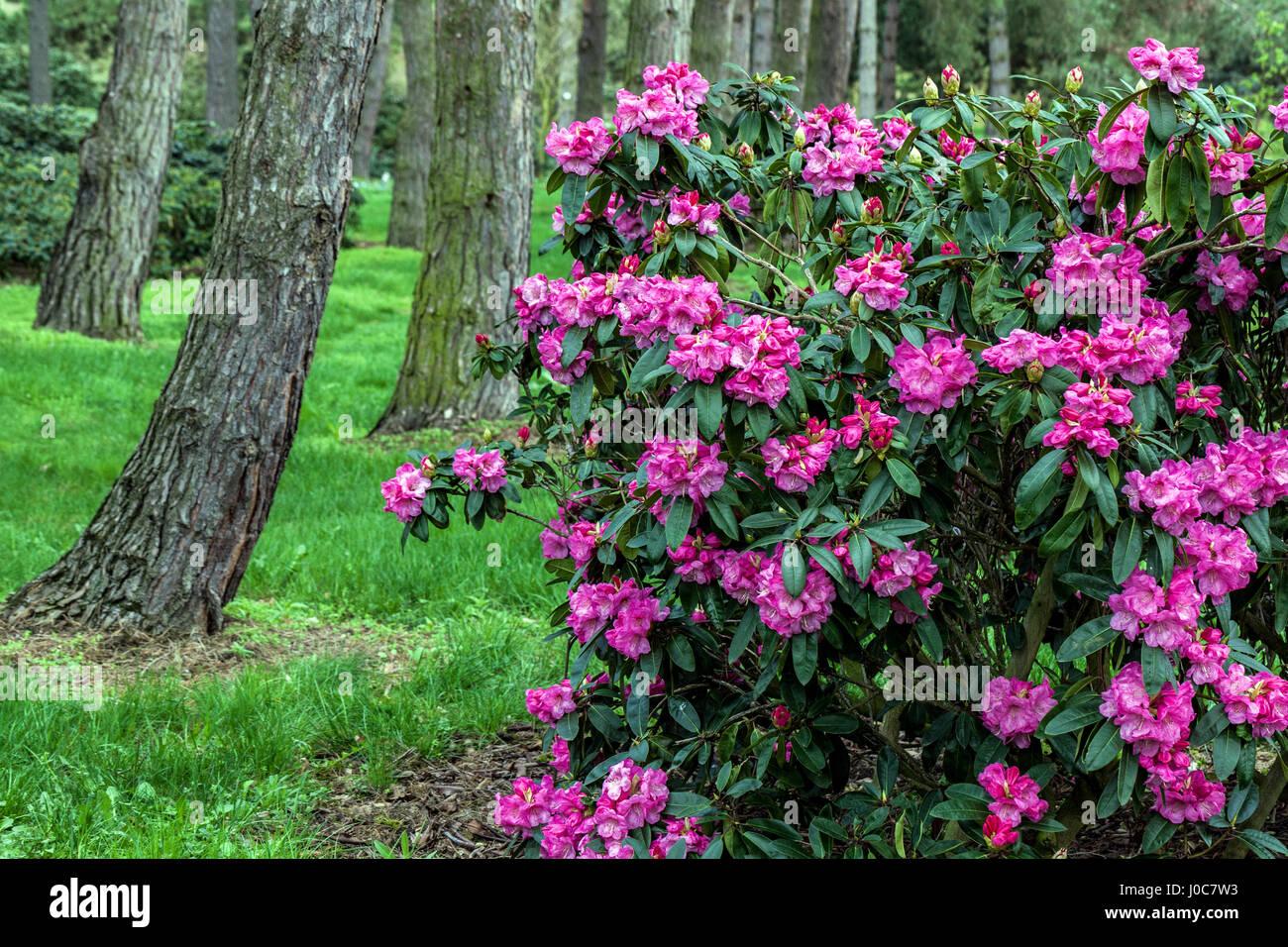 Rhododendron 'Loket', Wald Strauch Stockbild