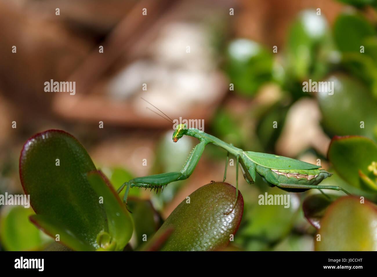 Mantis (Mantodea) auf den Blättern einer Jade-Anlage (Crassula Ovata) Stockbild